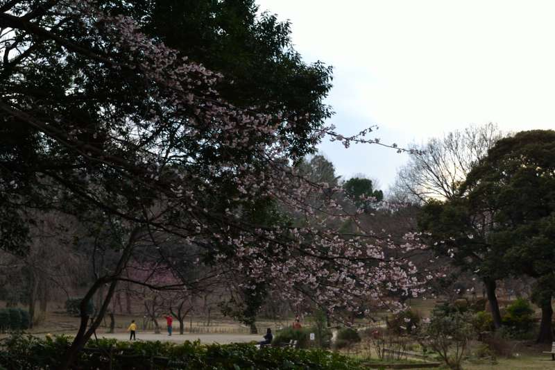 150修善寺寒桜