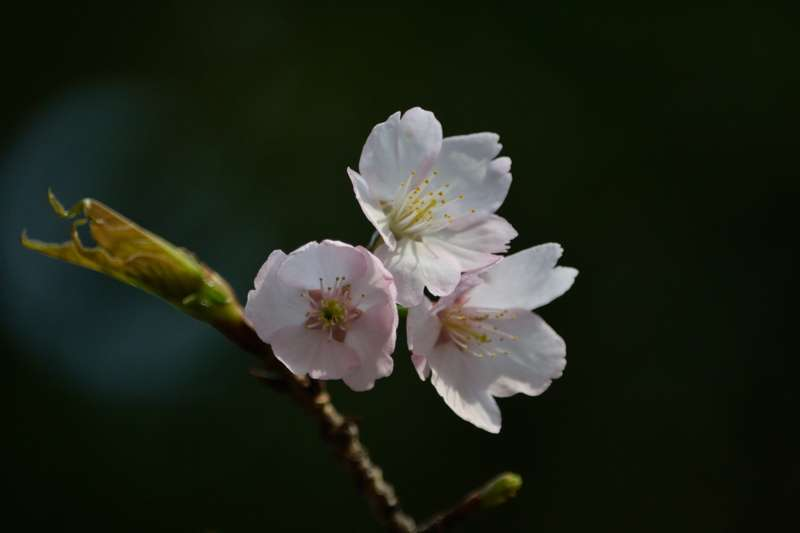 139寒桜