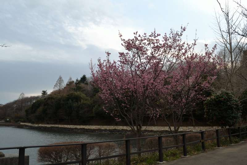 144オカメ寒桜