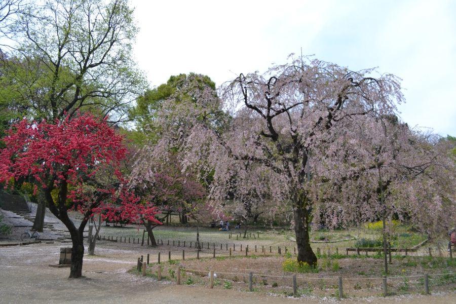 枝垂桜と桃の花
