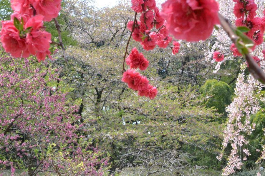桃の花と桜