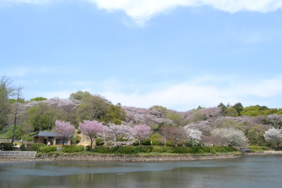 野山は桜①