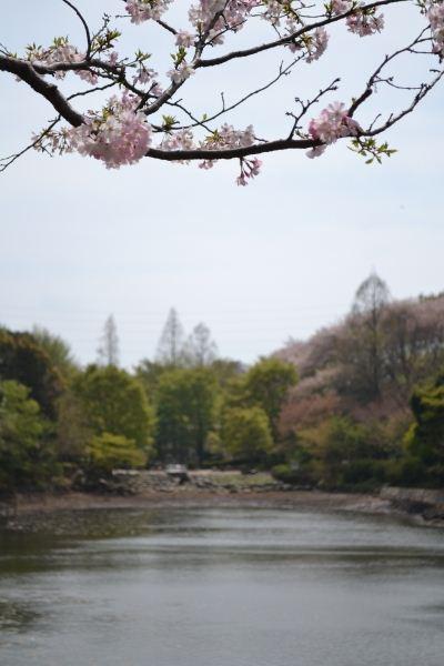 八重の豆桜②