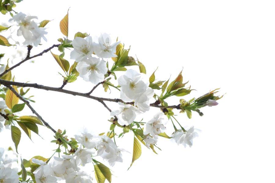 大島桜(絵風)