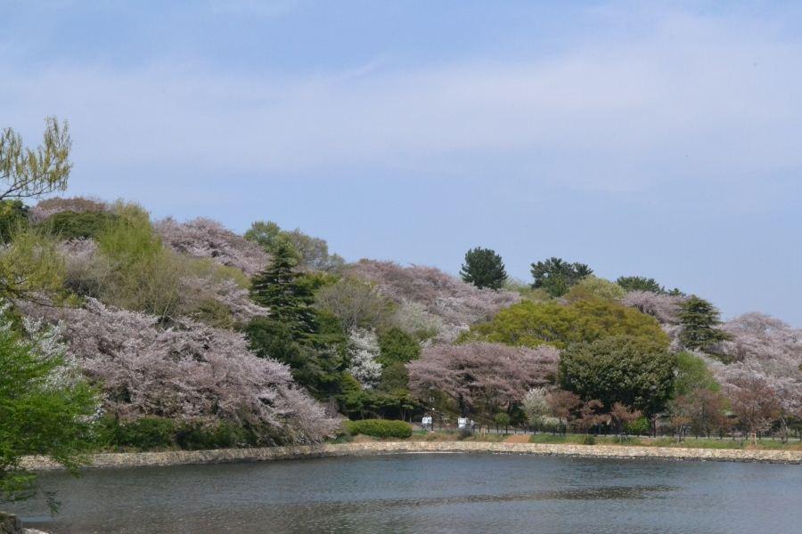 野山は桜②