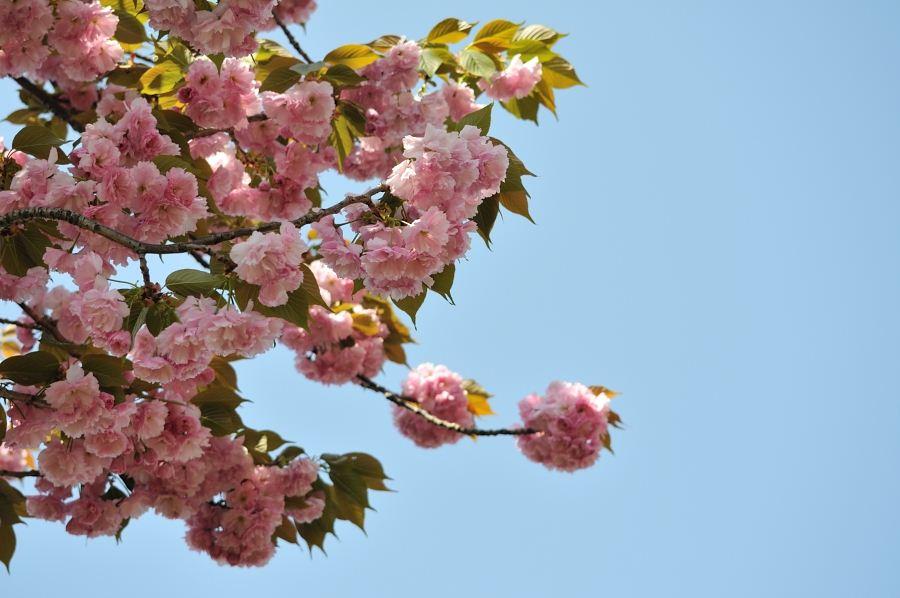 通りの桜②