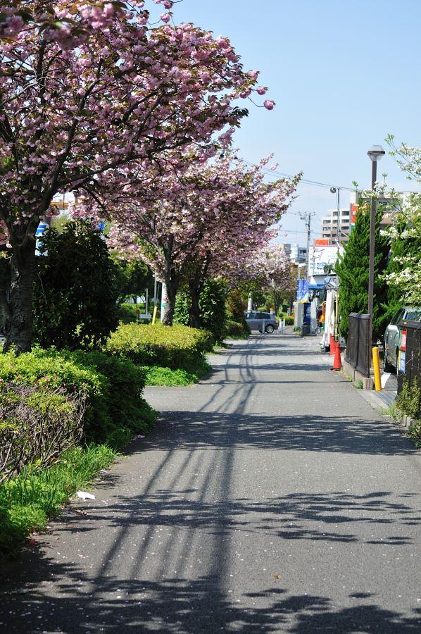 通りの桜①