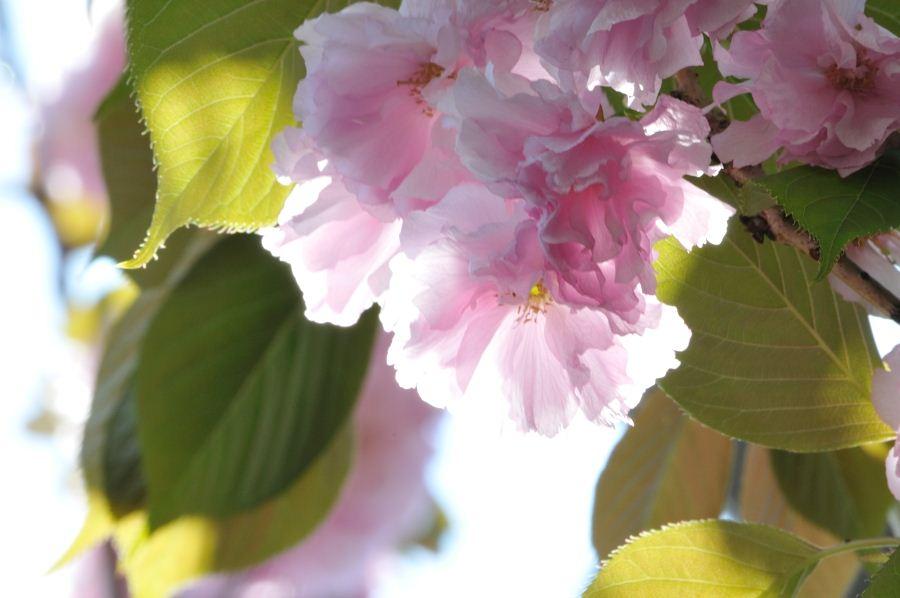 通りの桜③