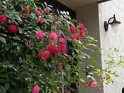 R0021302赤薔薇1