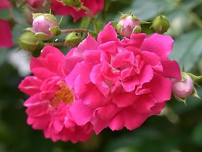 R0021320赤薔薇2