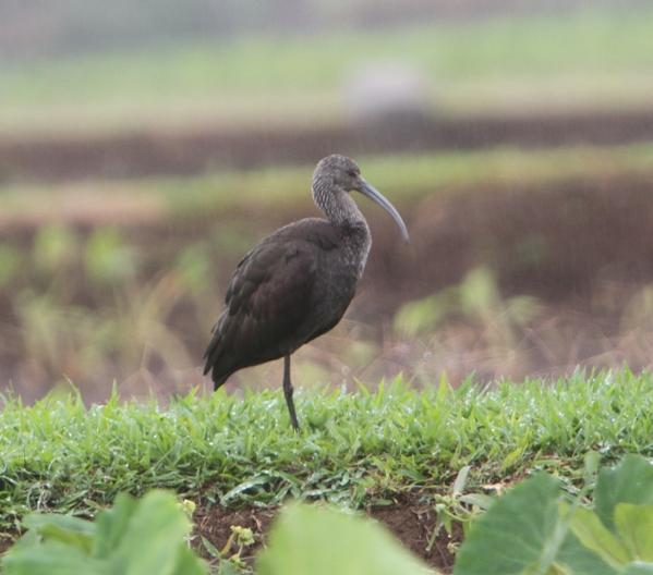 Strange Bird 6