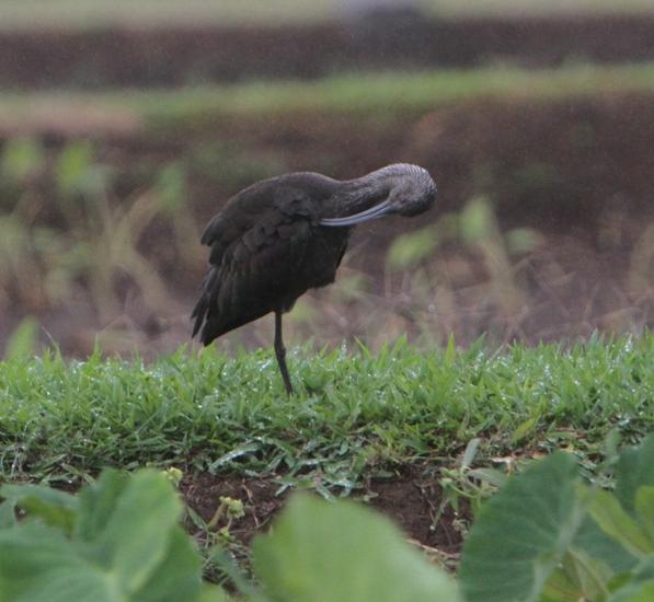 Strange Bird a1