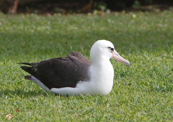 Laysan Albatross アホドリ