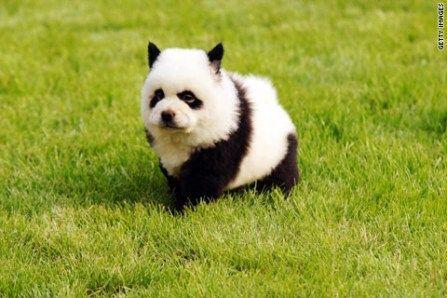中国ヘアカラーパンダ