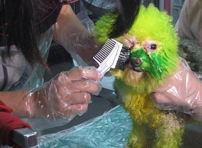 中国犬ヘアカラー