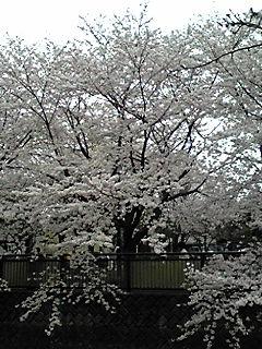 100404_1217_01sakura2.jpg