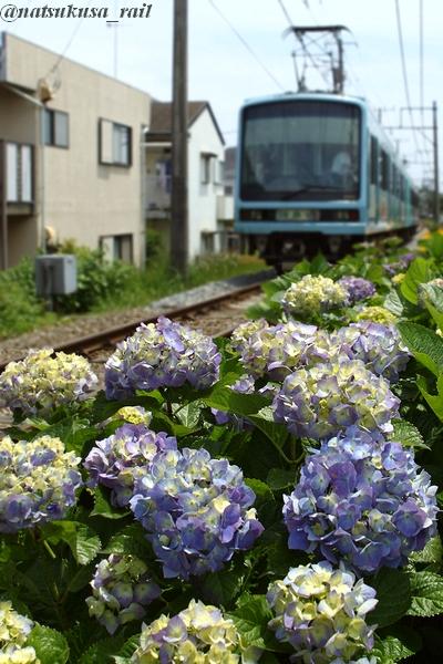 紫陽花と江ノ電と③