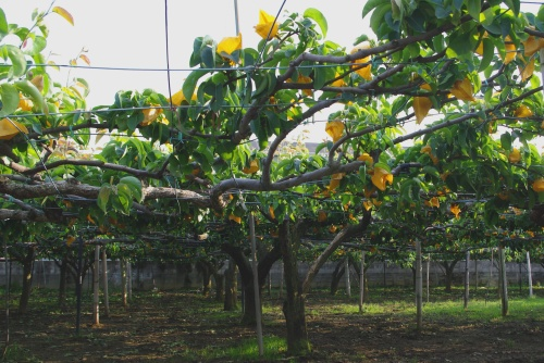 110604梨畑