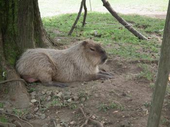 16kapibara.jpg
