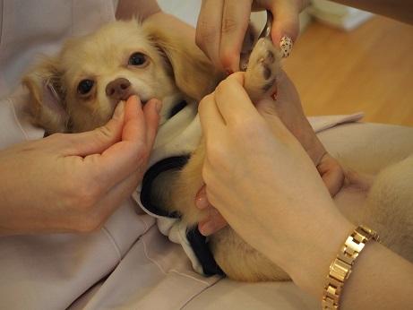 タプちゃん爪切り練習