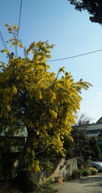 yellow wisteria