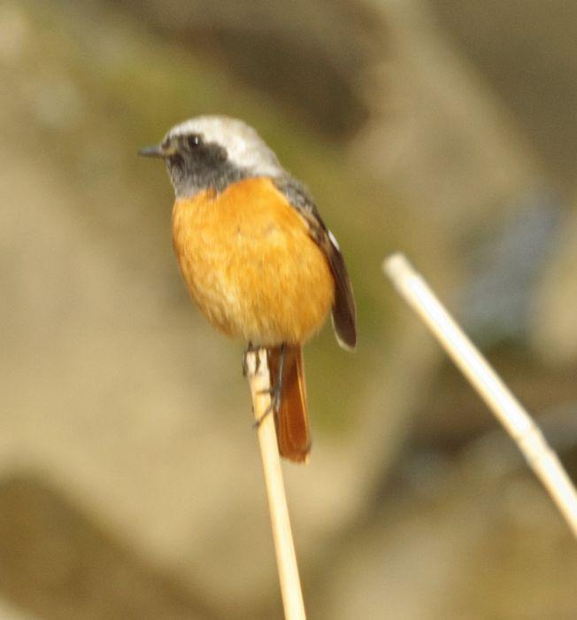 12-2-10-1木曽川にいる鳥