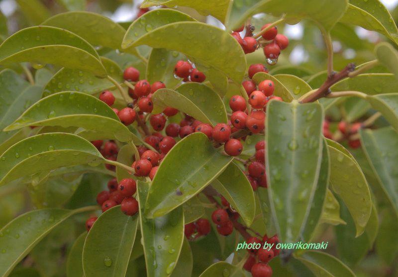 ロクガネモチの木