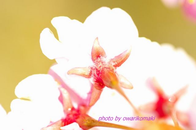 12-3-24-5桜の花の裏側