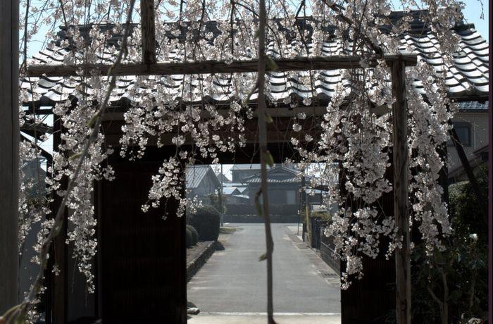 12-4-9-1悟渓屋敷しだれ桜