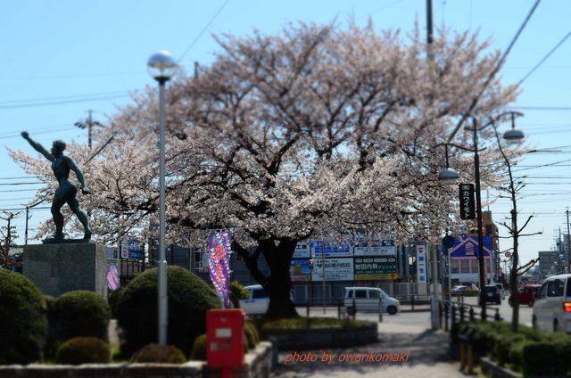12-4-10-1わが市役所前にある桜の木