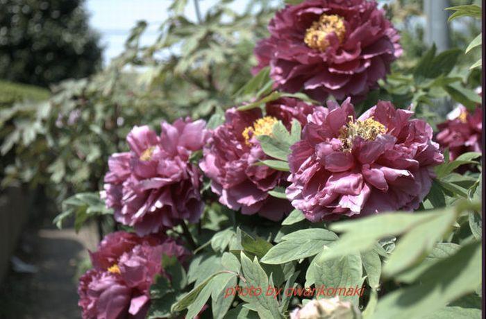 12-4-25-1牡丹の花