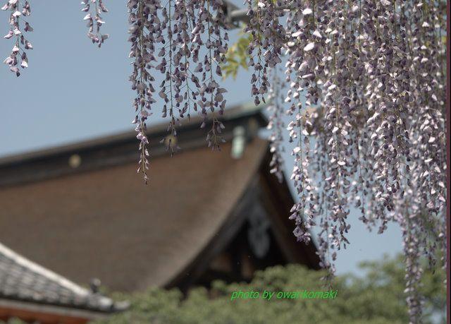 12-5-6-1藤祭り曼陀羅寺-人生は毎日が新しい出発、みずみずしい生命で、今日を勝って、これからだ