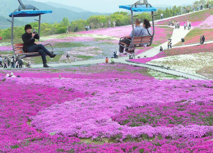 12-5-30-1芝桜茶臼山高原