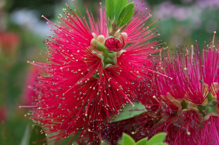 12-6-4-1マキバブラッシノキ フトモモ科 葉が細い花はビン洗いブラシ状に咲く