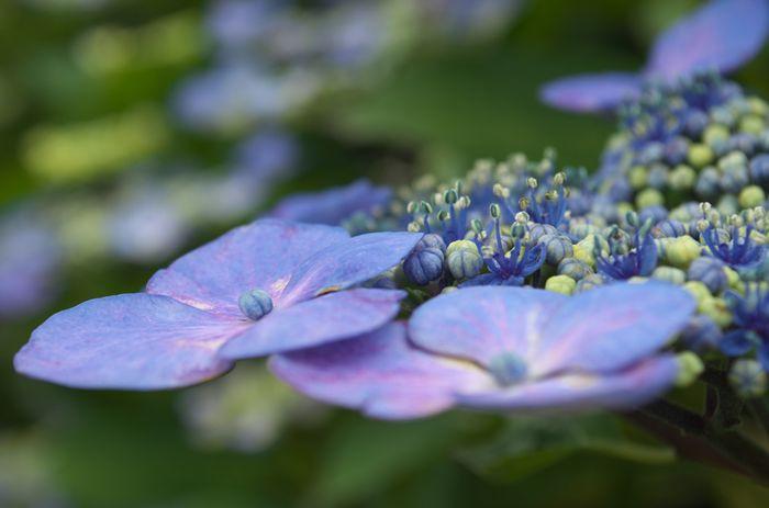 12-6-17-1安隠寺の紫陽花