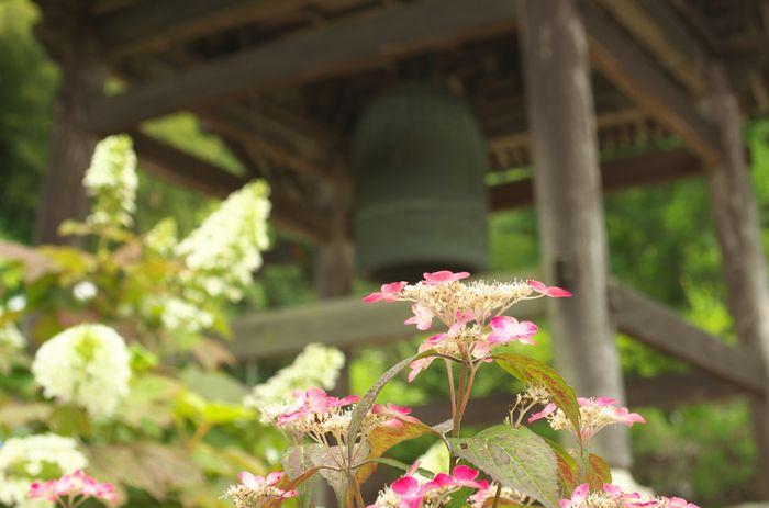 12-6-16-1大泉寺の紫陽花