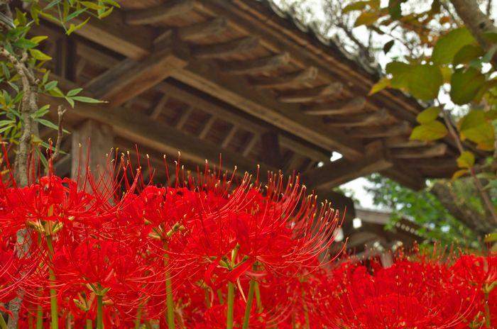 12-9-16-11嶺岳寺の彼岸花