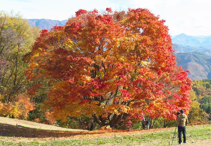 12-11-14-1大峰のカエデ