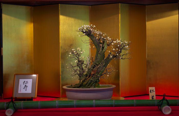 13-2-4-1梅盆栽