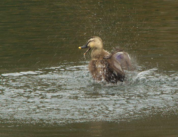 13-2-7-1松尾池の鴨