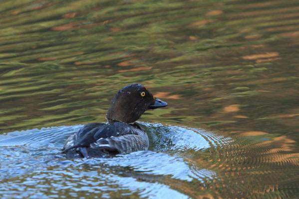 ホオジロガモ_千鹿頭池