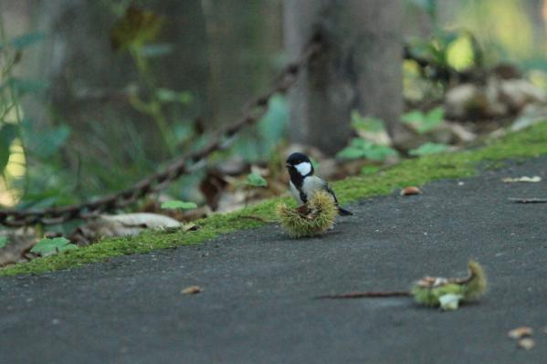 シジュウカラ_塩嶺小鳥の森