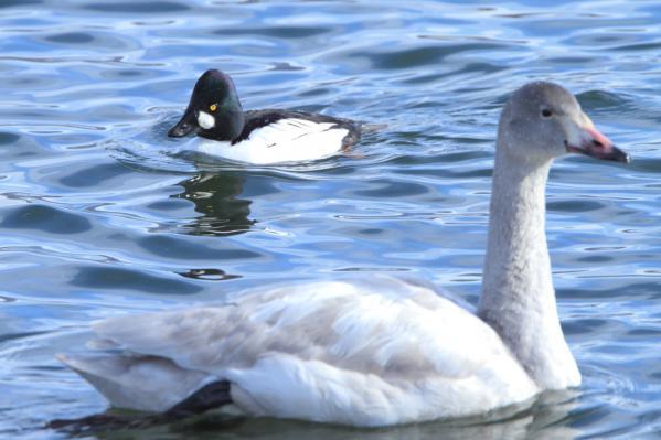 ホオジロガモ_諏訪湖