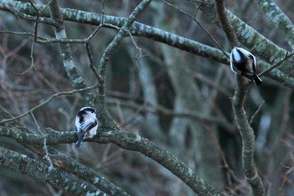 エナガ_塩嶺小鳥の森