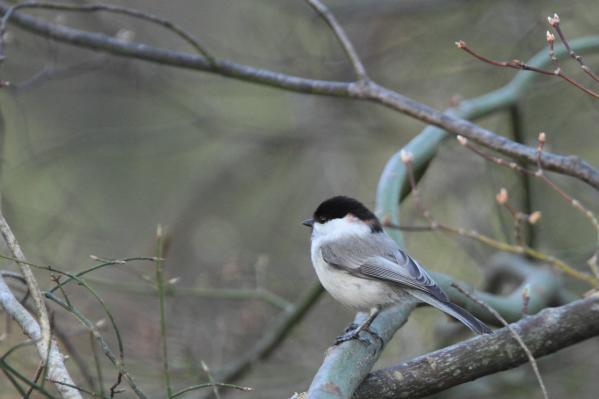 コガラ_小鳥の森