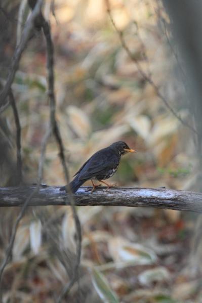 クロツグミ_小鳥の森