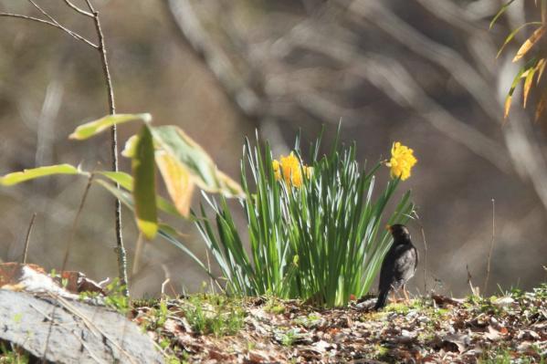 クロツグミ小鳥の森