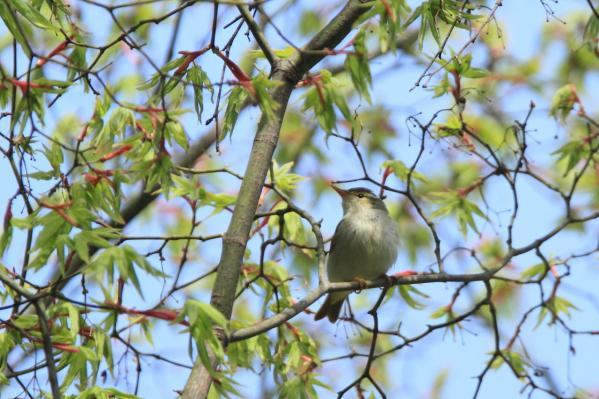 センダイムシクイ小鳥の森