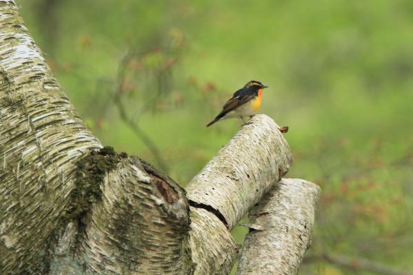 キビタキ小鳥の森