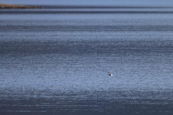 カンムリカイツブリ_諏訪湖